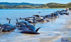 Fresh whale stranding on notorious New Zealand…