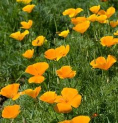"California Poppy is a wildflower, silky, 2 to 3"" cups of brilliant orange top neat mounds of finely cut silvery-green foliage. Blooms over a long period. Drought tolerant. Tolerates light frost. Excellent for seeding large areas. Ht. 12 to 15"".  Blooms in 55-60 days."