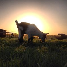 One of our favorite pictures! Sweet baby goat from last season's kidding. ❤️ This was accidentally awesome with the sun behind him like that.  #flashback #babygoat #sunset #farm #farmlife #country #countrylife #nofilter #goatmilk #goat