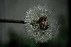 my photo..waterdrops Norway, Dandelion, My Photos, Garden, Flowers, Plants, Pictures, Dandelions, Garten