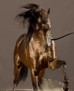 Akhal-teke breed horses are famous for the golden shimmer of their coats. Most Beautiful Animals, Beautiful Horses, Beautiful Creatures, Beautiful Gorgeous, Absolutely Stunning, Beautiful Images, Wilde Mustangs, Akhal Teke Horses, Arabian Stallions