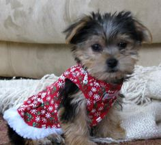 Sophia in her new Christmas dress: We just got one of the cutest Morkie puppies Sophia, Sophie for short 4 days ago, and she already seems to have made the adjustment to her new home.  Of