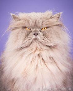 """Бубба. """"Знакомьтесь - Бубба, персидский кот, щедрый на улыбки, но не на любовь!"""". Фотограф Пит Торн, некогда уже создавший фотокнигу о собаках, теперь представляет общественности новую серию своих фото. Она называется """"Толстые коты"""". Каждый портрет пушистого толстячка снабжен небольшой историей из его жизни или характеристикой его самого."""