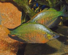 Glossolepis wanamensis.  Nice, large rainbowfish!