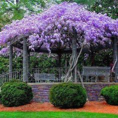 Beautiful wisteria climbing over a pergola