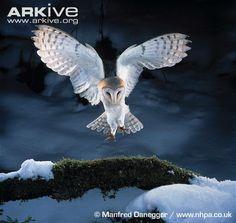 Barn owl landing on branch (snow)  © Manfred Danegger / www.nhpa.co.uk