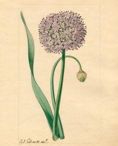 Watercolour on paper of Allium nutans (flat stalked garlic). Creator: Edwards, Sydenham Teast (1768- 1819). Date: 1810