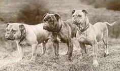Origins of The Olde Bull - Warlander Olde Bulldogges