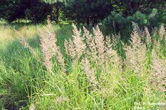 Mietlica pospolita (Agrostis tenuis) - czerwiec