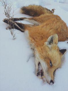 Cold fox didn't survive the winter. #fox #taxidermy