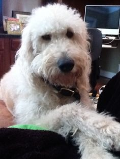 Harry Howard the Labradoodle pontificating life