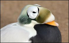 Male Spectacled Eider by Sue Hughes