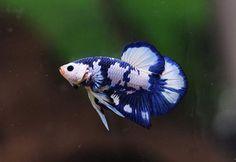 Meet lagoon, a she Koi Betta, Betta Fish Tank, Aquarium Fish Tank, Pretty Fish, Beautiful Fish, Animals Beautiful, Colorful Fish, Tropical Fish, Oscar Fish