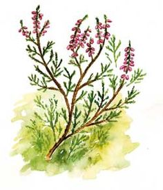 Heather Heather Lee, Watercolor Art, Old Things, Honey, Plants, Beautiful, Watercolor Painting, Plant, Watercolour