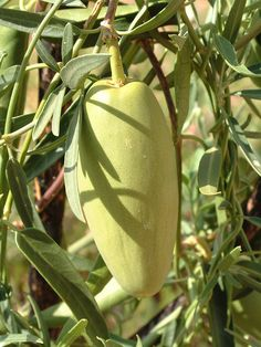 You Need Gardening Insurance For Anyone Who Is A Managing A Gardening Organization Bush Banana Marsdenia Australis Is An Australian Native Plant. It Is Found In Central Australia And Throughout Western Australia. It Is A Bush Tucker Food For Aborigines