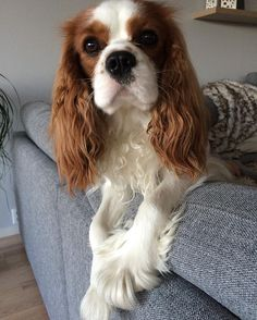 It's still sunday funday 🐾🐾😍 have a good one everypawdy! 🐾🐾 woopa #milostyle  #myprideandjoy #ckcs #cavalier #cavaliersofinstagram #cavalierkingcharlesspaniel #cavlife #cavaliercorner #itsacavthing #cavstyle #cavlove #lovecavalier #spanielsofinstagram #cavitude #cav #dogsofinstagram #dog #mydogisthecutest #cavsnation  #proud  @cavlife @love.cavaliers #weekend #pawsome #enjoy #Cavalierslove_feature #sunday #funday #sundayfunday