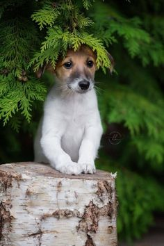 Jack Russell terrier in trees
