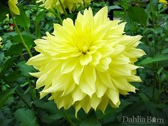 Quality dahlias grown in Washington State. We sell single dahlia tubers and dahlia bulbs that are true to name, guaranteed to grow and are free from viruses and diseases.