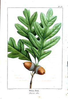 Botanical - Trees and Leaves - 3 | Vintageprintable