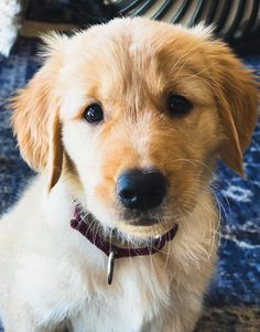 This is Crockett Golden Retriever Dogs and Puppies Super Cute Puppies, Cute Dogs And Puppies, Baby Dogs, Golden Retriever Mix, Retriever Puppies, Golden Retrievers, Beautiful Dogs, Amazing Dogs, Cute Animal Pictures