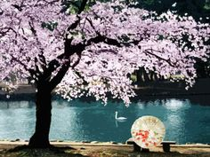 At the edge of a lake.  Cherry Blossom.