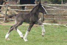 Sweet baby! Shire Клейдесдаль, Тяжеловозы, Йоркшир, Животные, Ломовая Лошадь