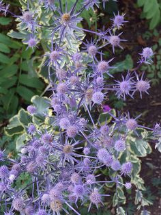 Eryngium planum 'Jade Frost' by Avondale Nursery, via Flickr