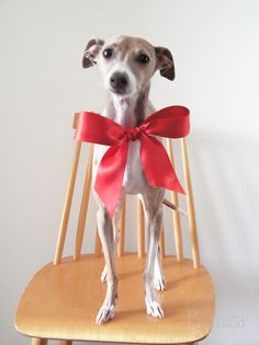 Future gift to myself for making it through this hell called nursing school! Little italian greyhound named Polly.