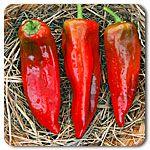 Organic Corno di Toro Italian Pepper