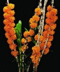 """dendrobium goldschmidtianum   AOS Orchids Magazine Spotlight: """"Dendrobium bullenianum 'Mt. Airy ..."""
