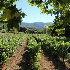 Vineyard in south of france