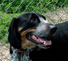 Ramsey is an adoptable Black And Tan Coonhound Dog in Milford, PA. This very handsome, big, slim 3 year old black and tan red-tick coonhound loves the attention of people. If you can give Ramsey the t...