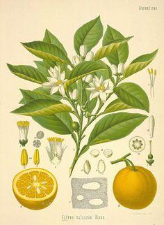 Citrus auantium Bigaradia (planche botanique)