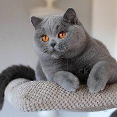 Britisch Kurzhaar - Eine Schönheit - Diese Katzen sind sehr intelligent, ruhig und gelassen....