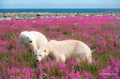 Dennis-Fast-Polar-Bear-12