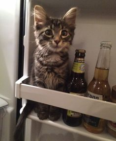 """Plan to Raid Fridge Is Flawed Jack, a kitten from Queens, NY, was thwarted in his attempt to raid the refrigerator at his apartment yesterday afternoon. """"He had his eye on my leftover calamari from dinner the previous night,"""" said roommate Claire Morin. """"But his plan was flawed from the start."""" Apparently, Jack thought he could hide on the fridge door in order to gain unfettered access to the fried squid. It worked — to a point. """"He actually got alone with the calamari,"""" ..."""
