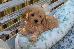 This cockapoo pup is too cute!