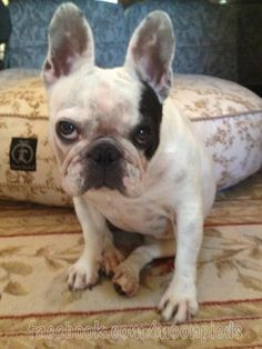 french bulldog--I don't think he wants to be messed with today.