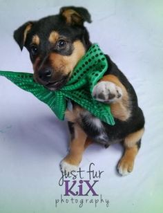 Kelpi! Cute photo shoot for St. Patty's. Up for adoption :)