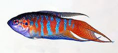 Macropodus opercularis - side (aka) edit.jpg