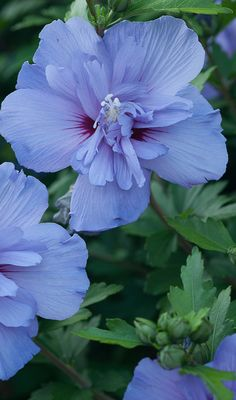 The lacy blooms on Blue Chiffon hibiscus will bring welcome color to your late summer garden. This plant can reach 12 feet in height and is hardy in zones 5-9. Consider this as a variety to create privacy in your yard too.