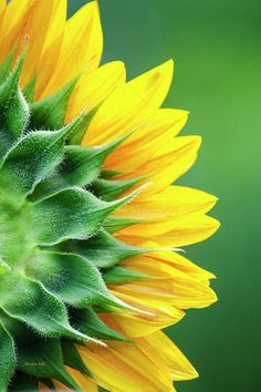 Sunflower Canvas, Yellow Sunflower, Sunflower Garden, Sunflower Flower, Fine Art Photography, Nature Photography, Photography Flowers, Yellow Photography, Sunflower Photography