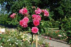 Sázení růží Plants, Flora, Plant