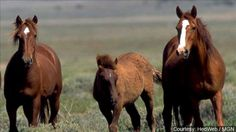 A plan to remove the ovaries of 100 wild horses has prompted backlash from a nonprofit horse group.