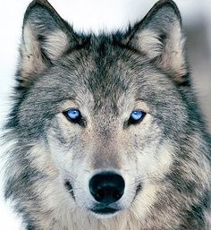 Discover your spirit animal: Learn more about wolf symbolism, the traits of the wolf totem, and what encounters and dreams mean for your life. Tier Wallpaper, Wolf Wallpaper, Animal Wallpaper, Nature Wallpaper, Wolf Photos, Wolf Pictures, Animal Pictures, Wolf Images, Pictures Images