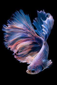 Betta fish on black background. Betta Fish Types, Betta Fish Tank, Betta Aquarium, Pretty Fish, Beautiful Fish, Beautiful Pictures, Beautiful Sea Creatures, Animals Beautiful, Poisson Combatant