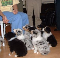 Aussie Pups. OMG cuteness