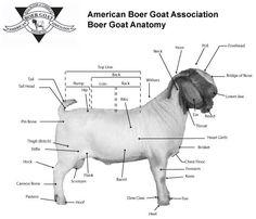 anatomy of a boer goat | American Boer Goat Association