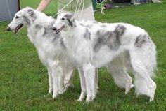 Borzoi - A beautiful pair