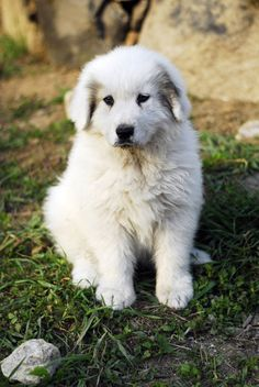 Great Pyreness Puppy. Getting one Soon. Hopefully